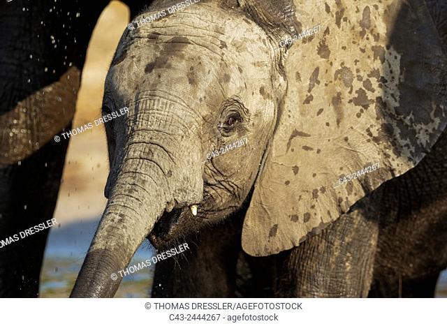 African Elephant (Loxodonta africana) - Calf drinking at the Chobe River. Photographed from a boat. Chobe National Park, Botswana