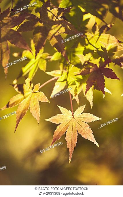 Acer Palmatum in autumn at The Royal Botanical Garden. Madrid. Community of Madrid. Spain