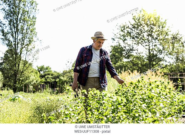 Senior man in garden examining plants
