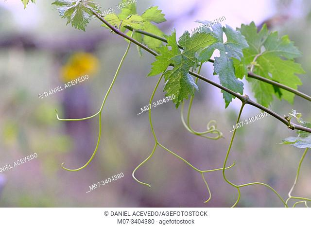 Summer vine leaves and branches, La Rioja Wine region, Spain
