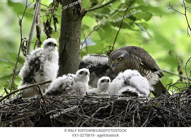 Sparrowhawk ( Accipiter nisus ), caring female, feeding its offspring, young chicks watching for something above, wildlife, Europe