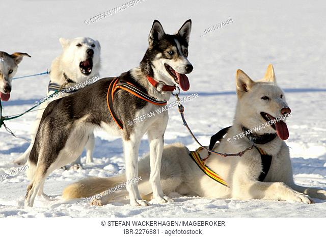Sled dogs, lead dogs, Alaskan Huskies, in harness, panting, resting in snow, frozen Lake Laberge, Yukon Territory, Canada