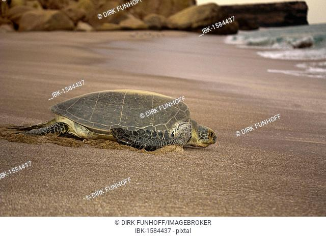 Green sea turtle (Chelonia mydas) on the way into the sea after laying eggs, Ras al Jinz, Oman, Middle East