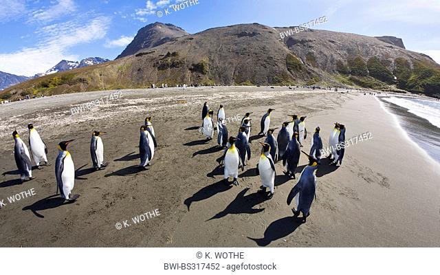 king penguin (Aptenodytes patagonicus), on the beach, Suedgeorgien, St. Andrews Bay