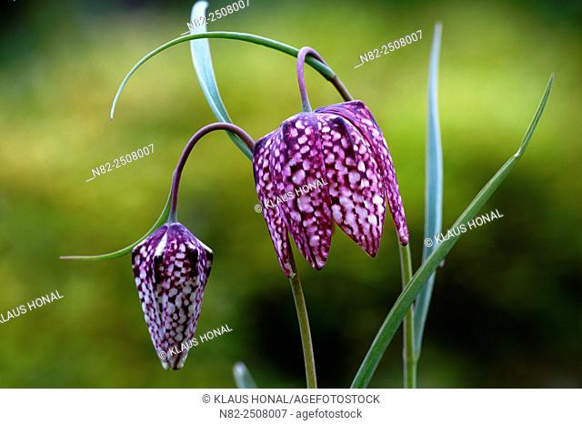 Snake's Head Fritillary Fritillaria meleagris blooming. The plant is very rare and specially protected - Bavaria/Germany