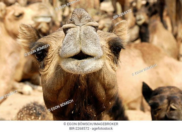 Riding camels, dromedary camels (Camelus dromedarius), in the Thar Desert near Jaisalmer, Rajasthan, North India, India, South Asia, Asia