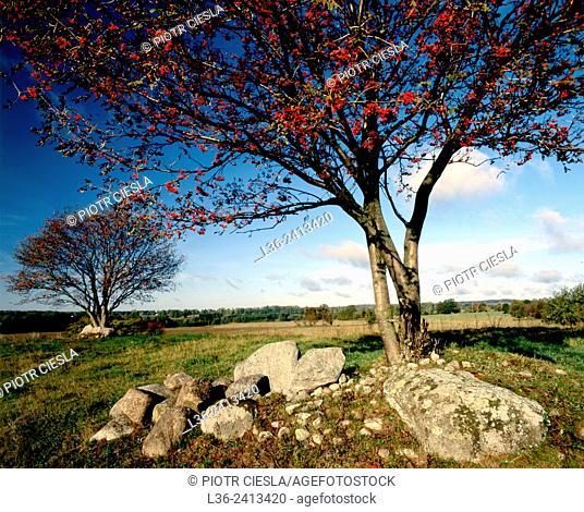 Rowan tree. Suwalski region. Poland