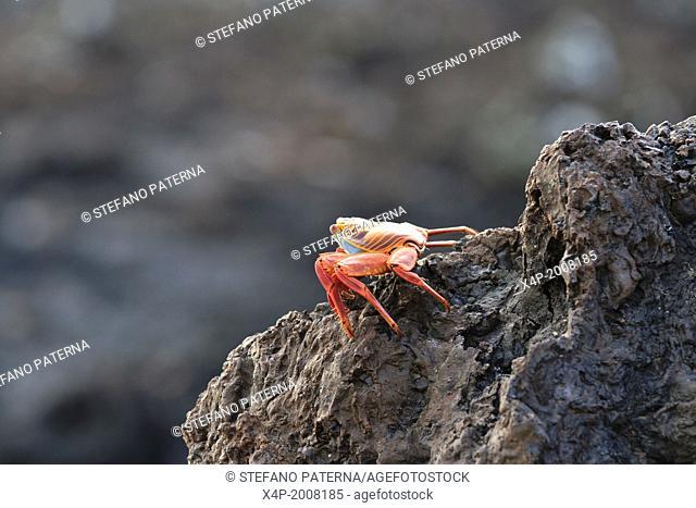 Sally Lightfoot Crab, Grapsus grapsus, Las Tintoreras, Isabela Island, Galapagos Islands, Ecuador