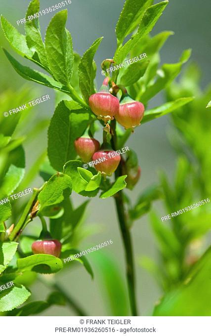 European blueberry, Vaccinium myrtillus / Heidelbeere, Vaccinium myrtillus