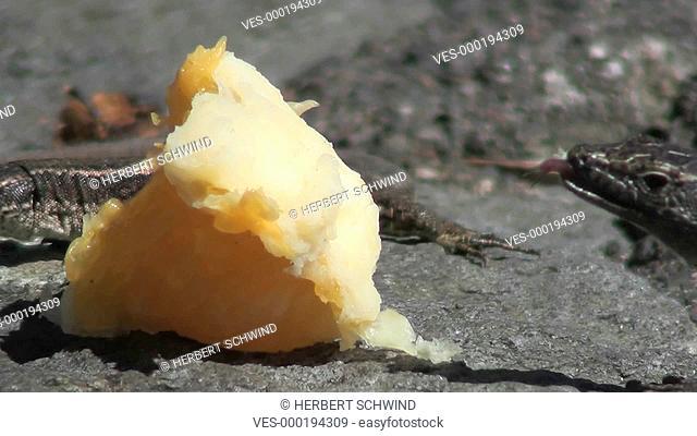 Madeira-Mauereidechsen (Teira dugesii) fressen ein St?ck Orange