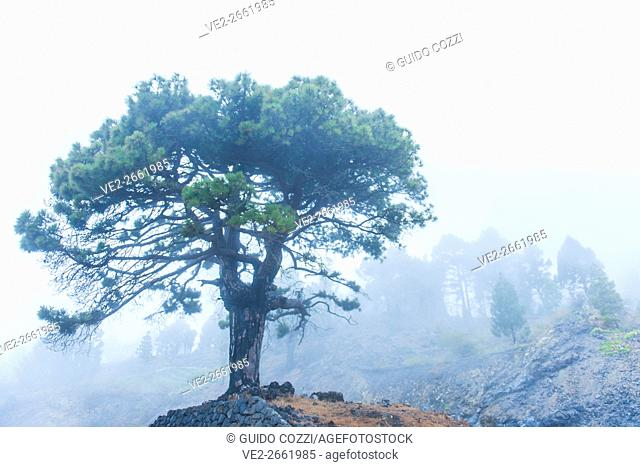 Spain, Canary Islands, La Palma. Fog in the wood near Fuencaliente