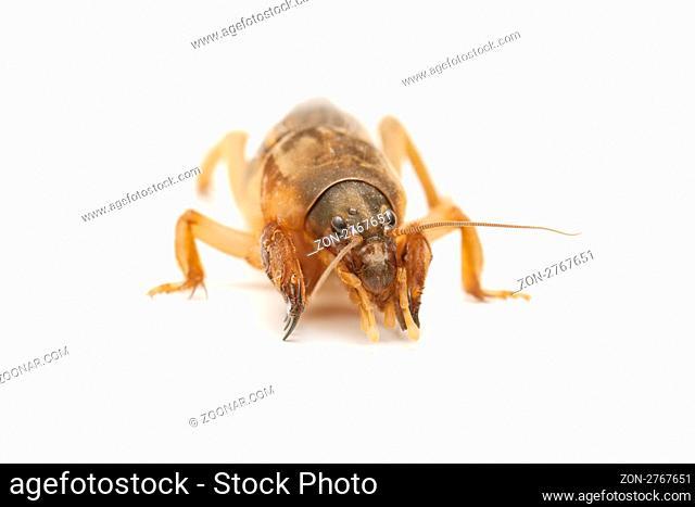 mole cricket isolated on white background
