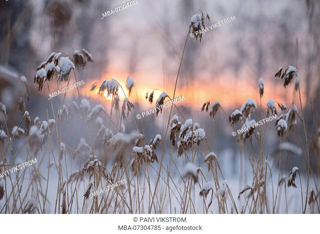 Snowy Reed Silhouettes Against Winter Sunset, blurred background