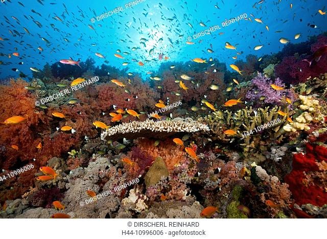 Colored Soft Coral Reef, Red Sea, Ras Mohammed, Egypt