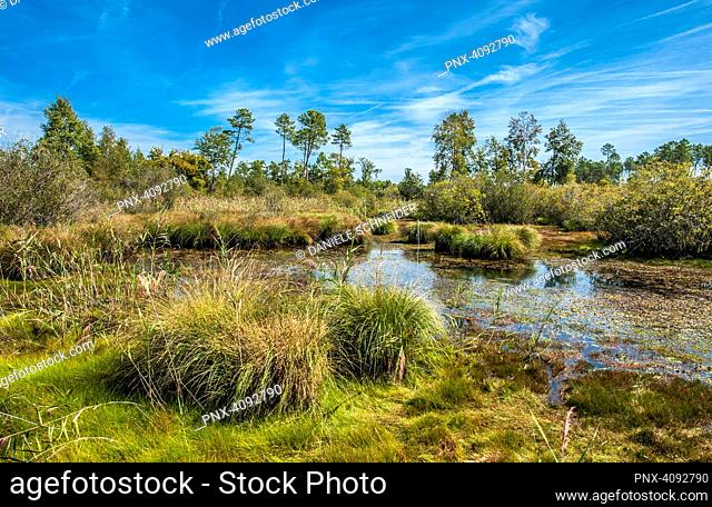 France, Gironde, Haute-Lande girondine, Hostens, lagoon edged with acuatic warbler, molinias and mariscus in the natural and sensitive site of the lagoon of Gat...