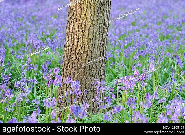 Bluebells and tree trunk - Norfolk UK