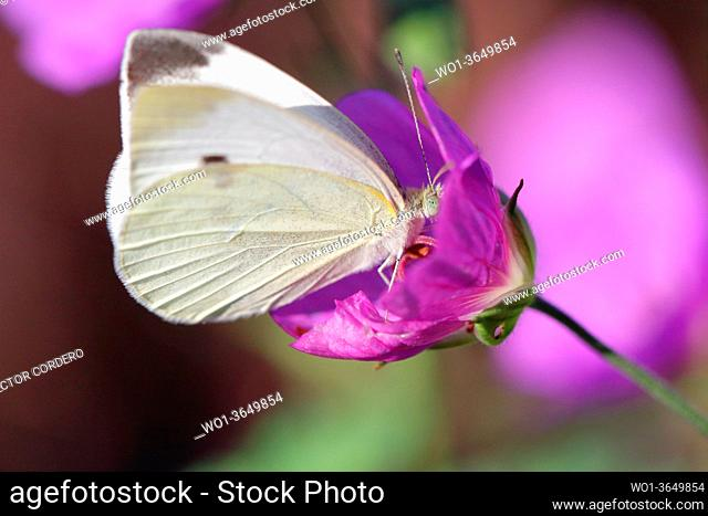 Pieris rapae, Cabbage white butterfly
