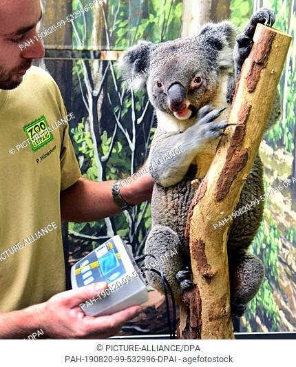 15 August 2019, Saxony, Leipzig: Koalamännchen Moose is daily weighed by his groom Philipp Hünemeyer. Two-year-old Koala came to Leipzig eight weeks ago with...