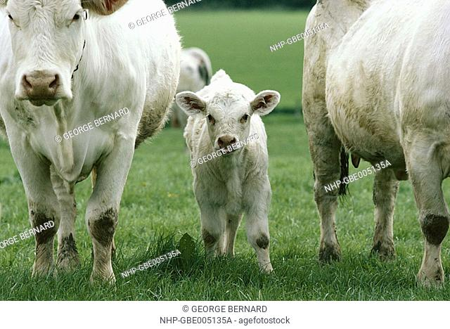 CHAROLAIS CATTLE Calf between two cows England
