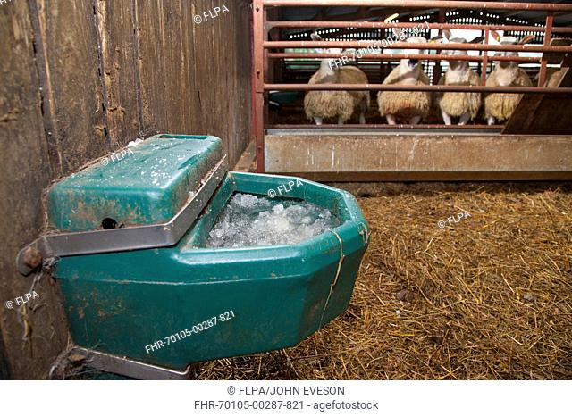 Frozen water drinker in farm building, with sheep in background, Chipping, Lancashire, England, december