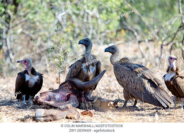 Hooded Vulture (Necrosyrtes monachus) with Whitebacked Vultures (Gyps africanus) scavenging on kill, Kruger National Park, Transvaal, South Africa