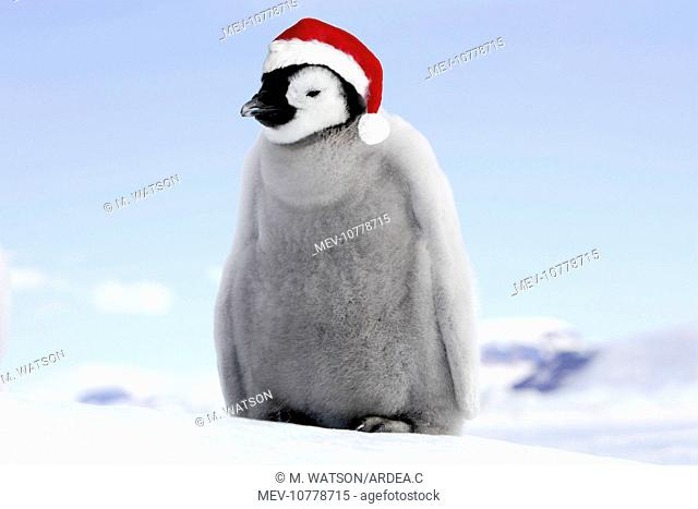 Emperor Penguin - chick wearing Christmas hat. (Aptenodytes forsteri)