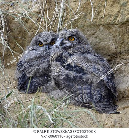 Eurasian Eagle Owls ( Bubo bubo ), young chicks, sitting next to each other behind some grass in a sand pit, wildlife, Europe