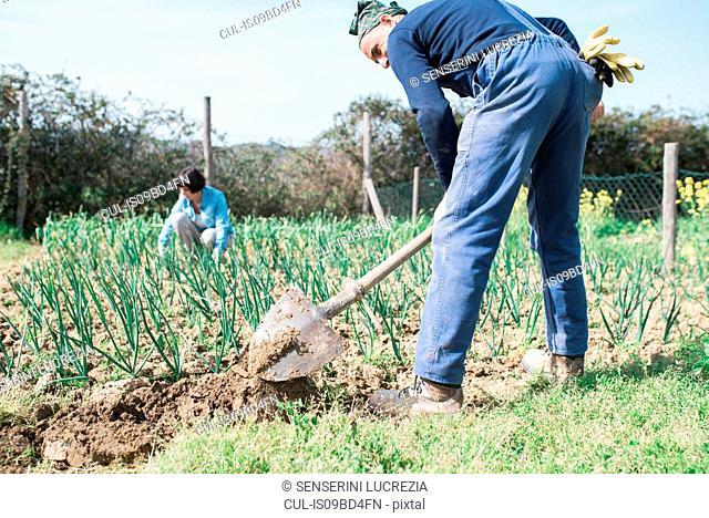 Mature couple working in vegetable garden