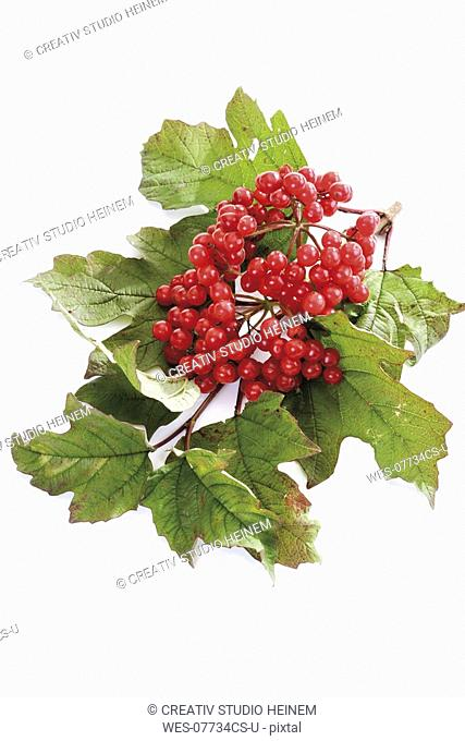 Snowball bush with berries Viburnum