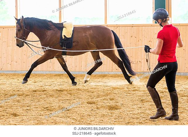 Pure Spanish Horse, Andalusian. Ulrike Stockelmann longing a bay juvenile in a riding hall. Germany