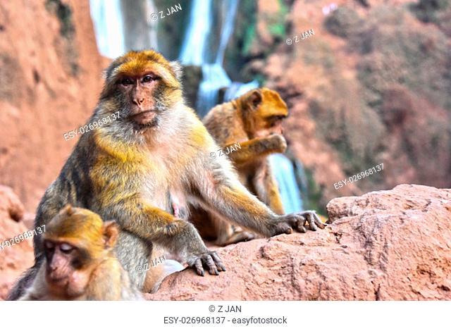 Barbary macaque (Macaca sylvanus), at the Ouzoud falls in Morocco