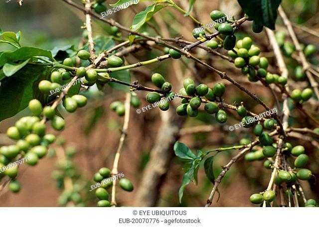 Coffee growing near the border with Rwanda. Principal cash crop of Burundi