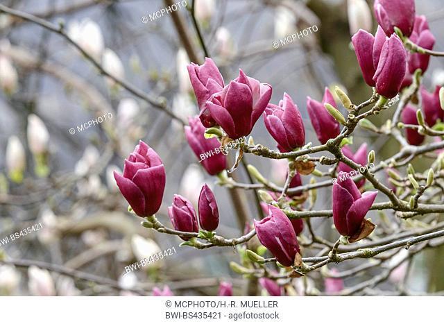 magnolia (Magnolia 'Pickard's Garnet', Magnolia Pickard's Garnet), cultivar Pickard's Garnet