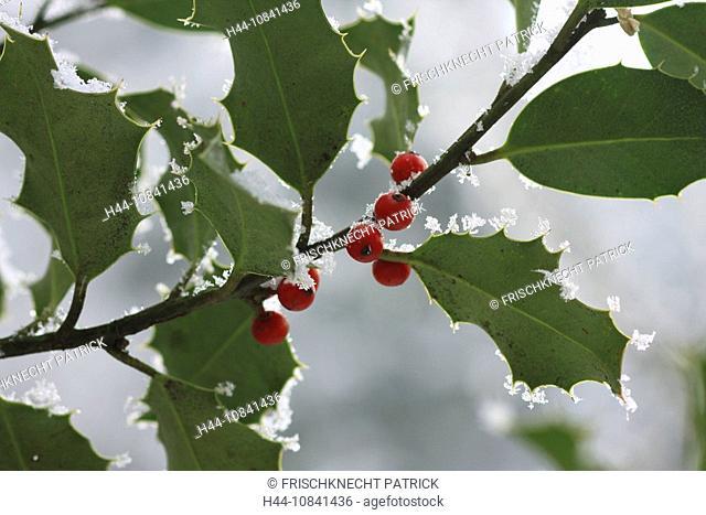 European Holly, Ilex aquifolium, red fruits, winter, Switzerland, Europe, white, frost, hoar, hoarfrost, cold, cold, s