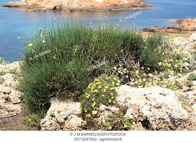 Joint pine (Ephedra fragilis) is a poisonous shrub native to eastern and western Mediterranean Basin. This photo was taken in Cala Pregonda, Menorca