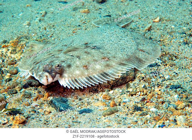 Mimetic plaice lying on the sea florr in Brittany, France. Pleuronectes platessa