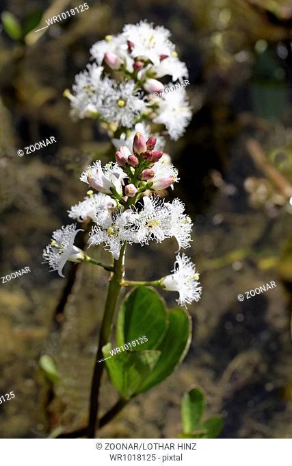 Menyanthes trifoliata, Marsh Trefoil, Bog-Bean