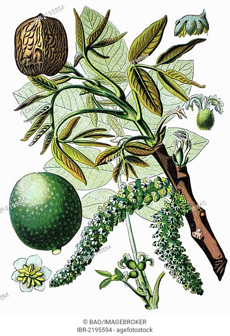 Persian walnut tree, English walnut tree (Juglans regia), historical chromolithography, 1870