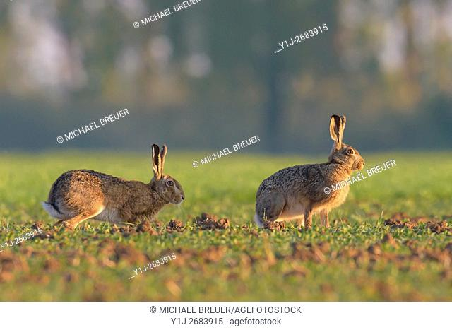 European brown hares (Lepus europaeus), Hesse, Germany, Europe