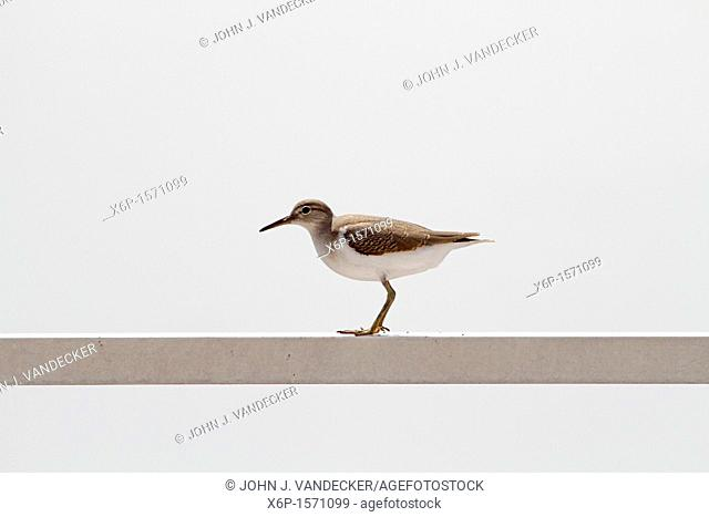 A sandpiper balancing on a rail  Richard DeKorte Park, Lyndhurst, New Jersey, USA