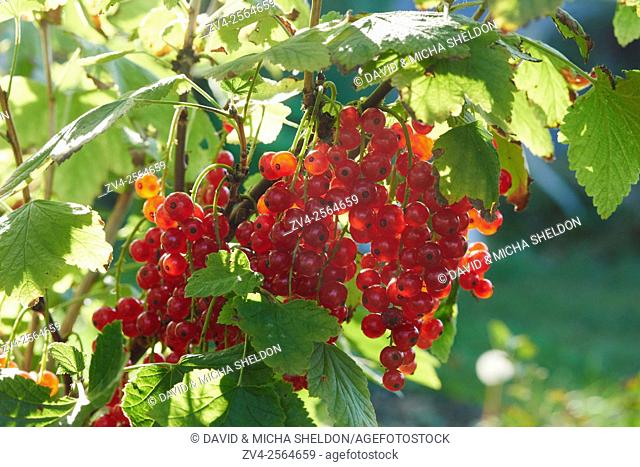 Close-up of redcurrant (Ribes rubrum) fruits in a garden in late summer