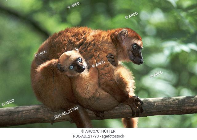 Blue-eyed Lemurs female with young Eulemur macaco flavifrons side Madagascar