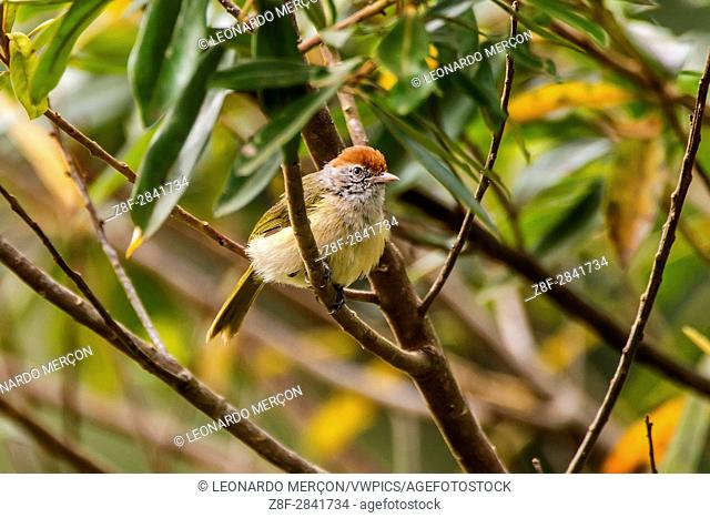 Gray-eyed Greenlet (Hylophilus amaurocephalus), photographed in Afonso Cláudio, Espírito Santo - Southeast of Brazil. Atlantic Forest Biome