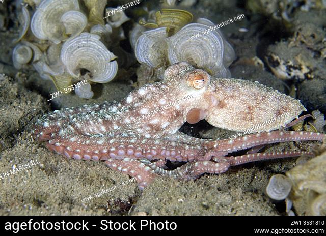 Starry Night Octopus (Callistoctopus luteus), night dive, Laha dive site, Ambon, Maluku, Indonesia, Banda Sea