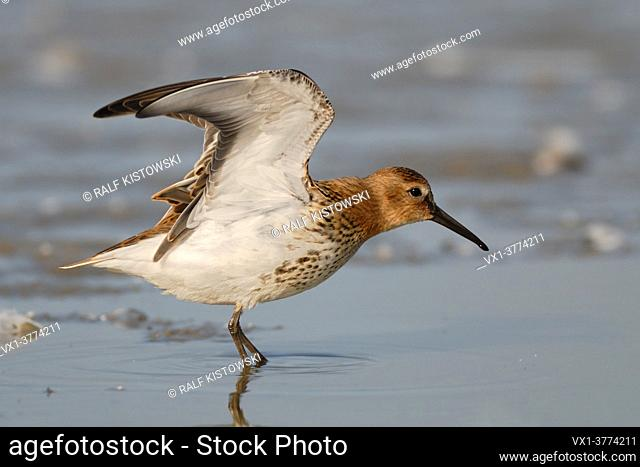 Dunlin ( Calidris alpina ) stretching its wings in shallow waters of the wadden sea, wildlife, Europe.