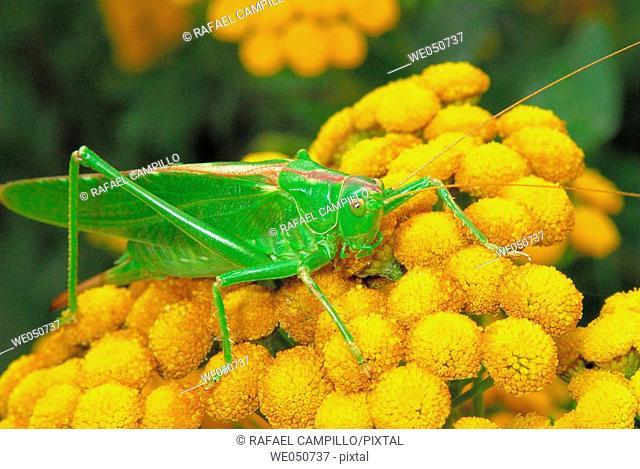 Great Green Bush-cricket Tettigonia (Locusta) viridissima