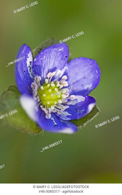 Liverleaf, Hepatica nobilis, a perennial flower having trilobed leaf. The flower can be pink, cobalt, light blue, white or lilac