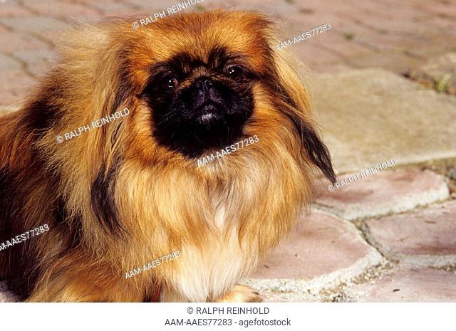 Dog: Pekingese, Kantung Kennels, Flesherton, Ontario