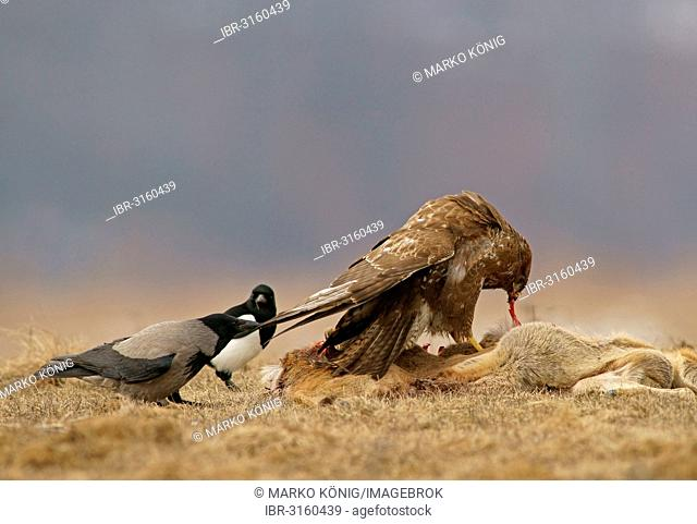 Common Buzzard (Buteo buteo), a Magpie (Pica pica) and a Hooded Crow (Corvus corone cornix) with the carcass of a deer