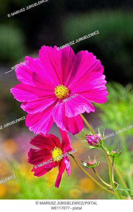 Garden cosmos Cosmos bipinnatus is a medium sized flowering herbaceous plant native to Mexico